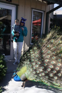 "Tyler signing ""bird"" at the peacock. No fear--I had to hold him so he wouldn't touch."